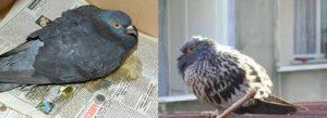 güvercin_hastaliklari